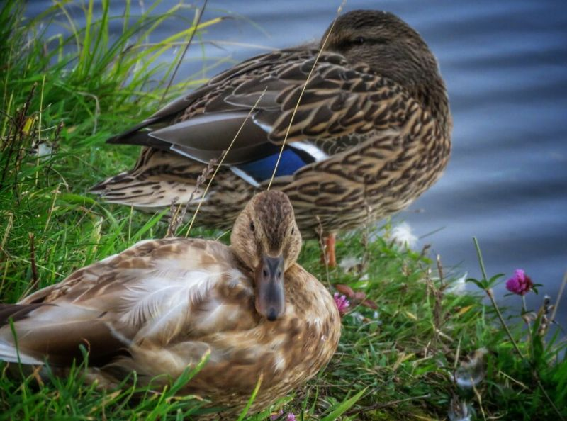 Ducks chillin by the pond😊 Taking Photos Check This Out From My Point Of View Ireland🍀 Outdoors Animals In The Wild Duck Animal Themes Beauty In Nature Water Out Walking My Dog Looking At Camera Duck Portrait Grass Light And Shadow Eyeem2017 The Places I've Been Animal Wildlife Day Water Bird Close-up Enjoying The View Enjoying Life