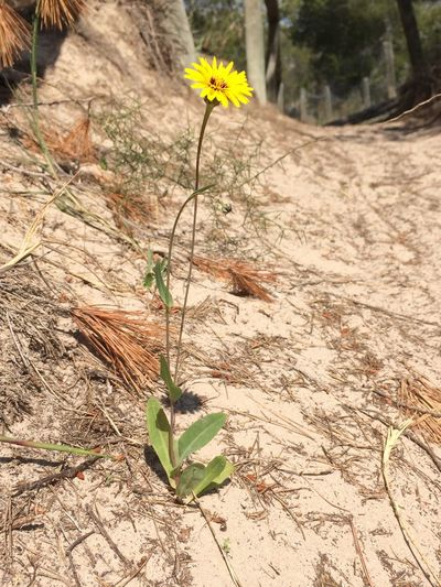 No People No Edit/no Filter No Filter Close-up Flower Yellow Yellow Flower Shadow Shadows & Lights Art Is Everywhere Fragility Growth Nature Plant Flower Head Day Petal Outdoors Leaf Freshness Beauty In Nature Flower In The Dunes Flower In The Sun Resist