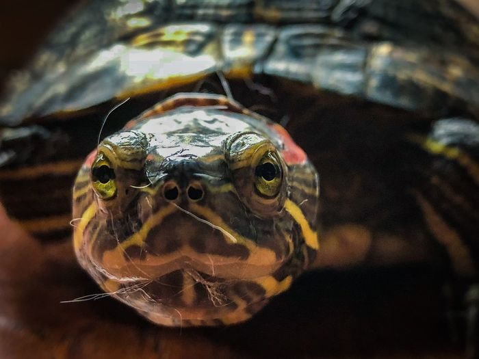 Trachemys Scripta Elegans Animal Themes Animal One Animal Animal Wildlife Close-up Reptile Day No People Animal Head  Looking At Camera Animal Body Part Vertebrate Focus On Foreground Portrait Amphibian