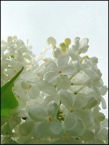 сирень белый цветы небо голубой белые