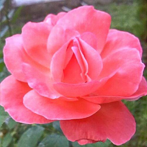 🌹🌹🌹 Rose🌹 Flowers Flowers,Plants & Garden Beautiful Pink Flower Pink Rose Pink Roses Roses