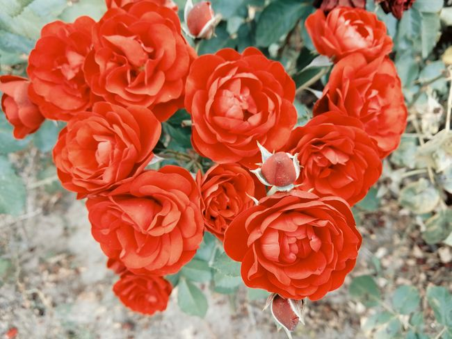 red roses Rose - Flower Roses Flower Outdoor Growth In Bloom Red Intense Colors Vibrant Color Plant Plant Part Macro Nature Beauty In Nature Garden Garden Flowers Flowering Plant Botanical Focus In Bloom Blossom Plant Life Botany Wild Rose
