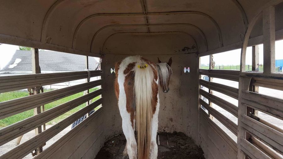 Animal Themes Horse Horse In Trailer No People Outdoors Railing