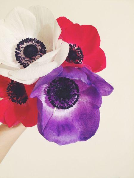 アネモネ を想う✍ Anemone Windflower Flower