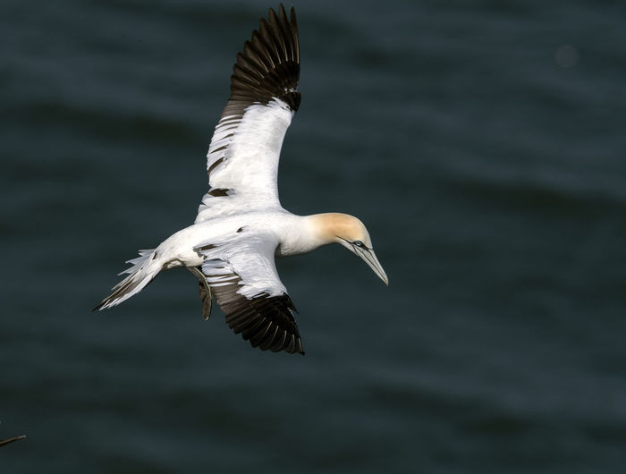 High angle view of gannet flying above sea