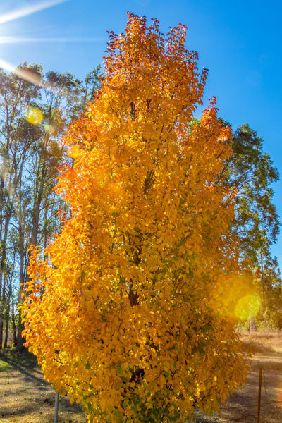 Deciduous trees with colourful falling autumn leaves Australia Australian Autumn Branches Country Nature Orange Red Rural Scenic Trees Beauty In Nature Blue Day Deciduous Fall Growth Landscape Leaves Nature No People Outdoors Sky Sunshine Tree