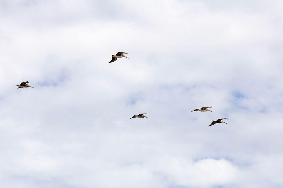 Pelicans in Flight Canon EOS 60D Flying Bird Animal Themes Animal Vertebrate Animal Wildlife Cloud - Sky