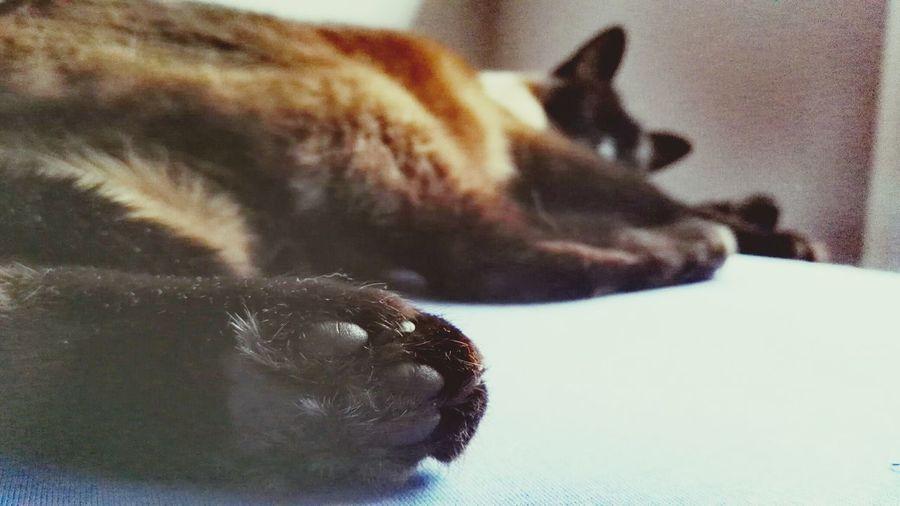 Cat Paws Sleeping Animal Princess Morning Bedtime Close-up Pets Mammal Indoors  Day