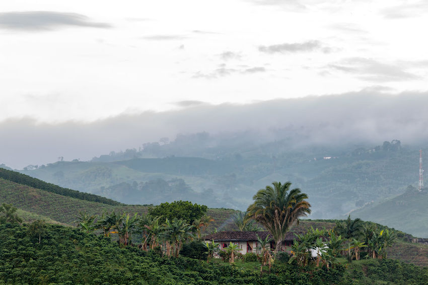 Coffee trees surround a house in the early dawn light near Chinchina, Colombia. Andes Caffeine Coffee Colombia Farm Latin Manizales Nature Plant South Travel America Arabica Bean Caldas Chinchina Colombian  Drink Landscape Mountain Organic Plantation Robusta Triangle Tropical