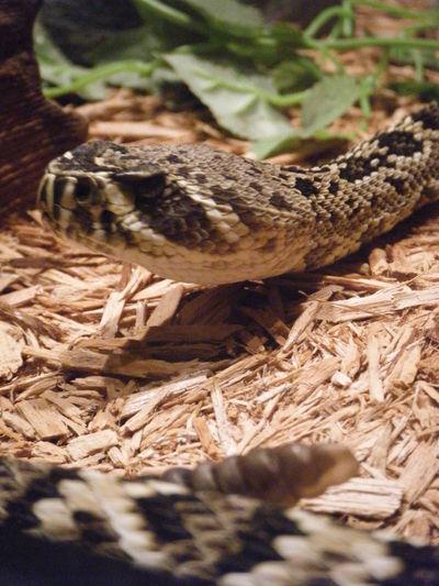 Snake Rattler Rattlesnake Motion Slither Venom HEAD Nose Eye