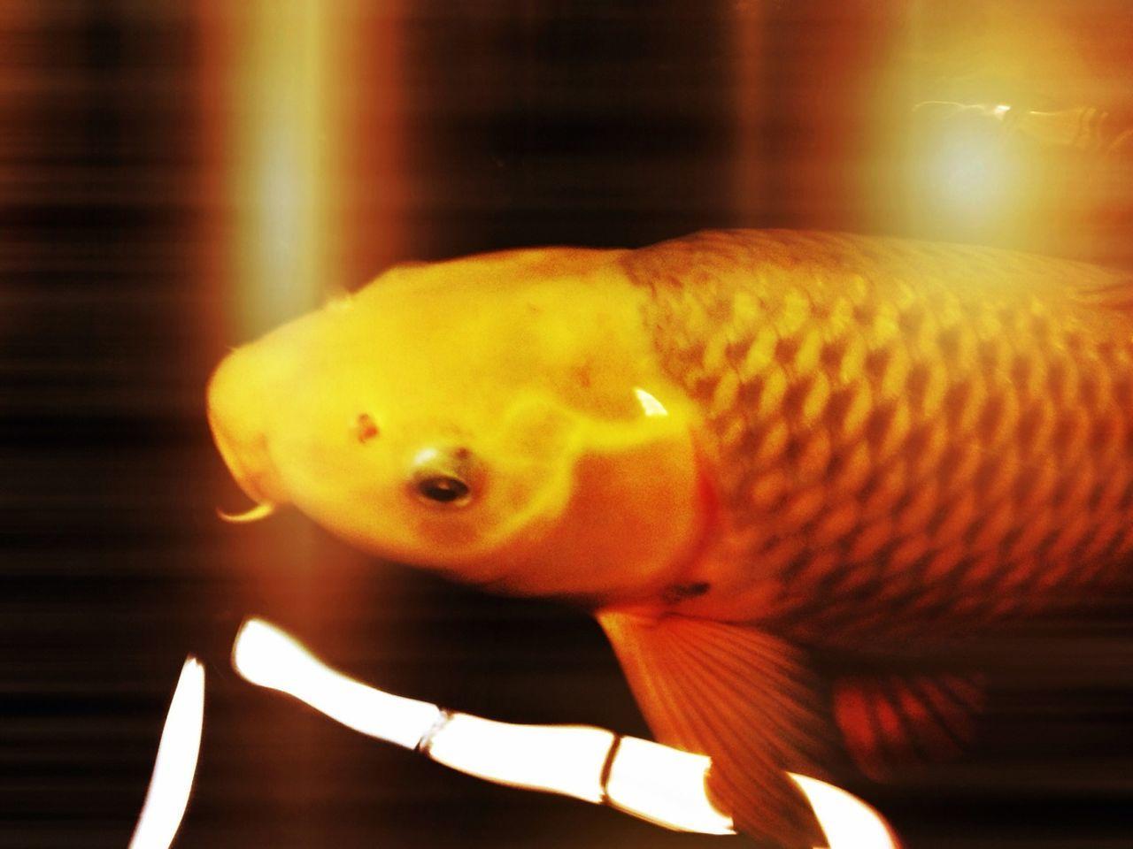Close-up orange fish swimming
