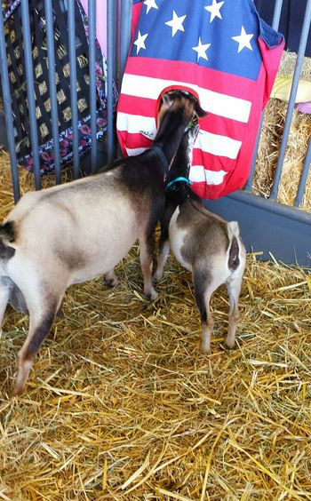 Patriotic Red White And Blue Unique Goat Feeder Goat Feeding Goats Goats Life County Fair No People