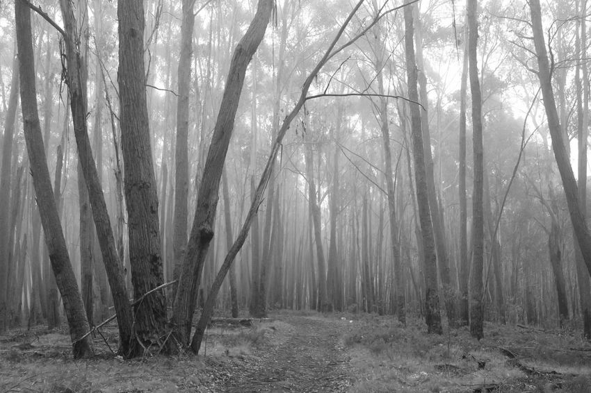 Lost in the woods EyeEm Best Shots EyeEm Nature Lover Lost In The Woods Beauty In Nature Black And White Day Eerie Environment Fog Forest Hazy  Land Landscape Nature No People Non-urban Scene Outdoors Plant Scenics - Nature Tranquil Scene Tranquility Tree Tree Trunk Trunk WoodLand