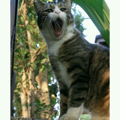 あくび祭😙 キジシロ のらねこ部 自由猫 Cat♡ ファインダー越しの私の世界 ファインダーは私のキャンパス EyeEm Best Shots Cats Of EyeEm Playing With The Animals Cat Stray Cat Cat Watching 野良猫 猫 地域猫 ハチワレ Cat Lovers Cats Lovers  くつした猫 Eye4photography  ねこ部 もふもふ 野良猫ウォッチング Animals Straycat