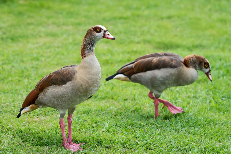 Grass Nature Duck Green Animal Wild Wildlife Bird Egyptian Park Pair Geese Walking Feather  Beak Standing Pond Beautiful Couple Water Lake Goose Colorful Brown Lawn Outdoors Two African White Europe Beauty Color Red Black Adult Cute Travel Spring Orange Meadow Together