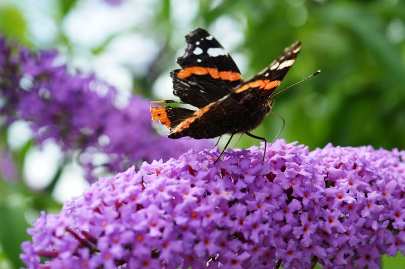 Purple Pollination Plant Petal Perching Outdoors One Animal No People Nature Insect Growth Freshness Fragility Focus On Foreground Flower Head Flower Day Close-up Butterfly - Insect Beauty In Nature Animals In The Wild Animal Wildlife Animal Themes