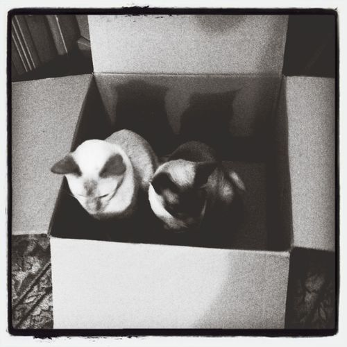 my cats love the preperation and packing things away for the window installation next week Siamese Twins My Cats IPhoneography In The Box