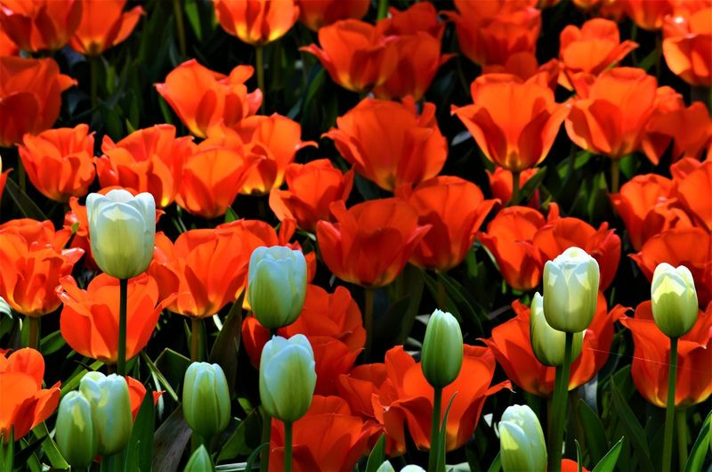 Close-up of red tulips in field