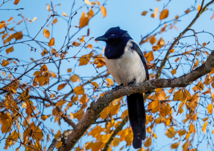 Tree Vertebrate Bird Animal Themes Animal Wildlife Animal Plant Animals In The Wild One Animal Branch Perching Low Angle View No People Nature Sky Day Focus On Foreground Outdoors Beauty In Nature Looking Away Magpie Pica Pica