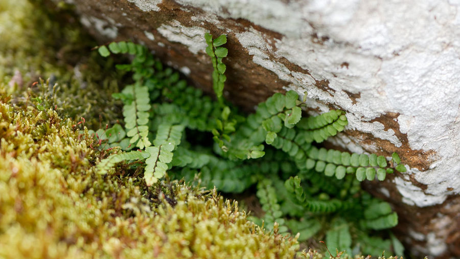 Flore Fern Plant Nature Nature_collection Nature Photography Stone Lichen Lichen On A Rock Rock Rock - Object Basaltic Rock Tree Branch Pinaceae Pine Tree Social Issues Close-up Plant Green Color Rocky Mountains Rock Formation Geology Moss Plant Part Plant Life Growing