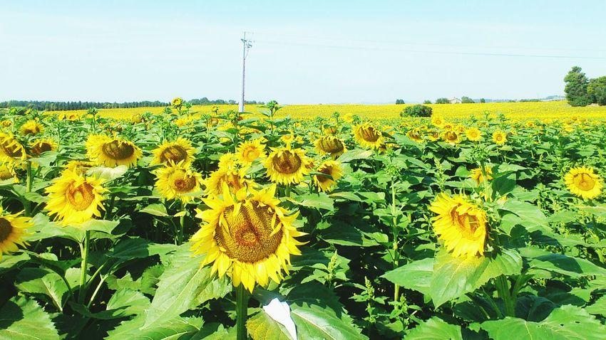 Open Edit Flowers Sun Fano