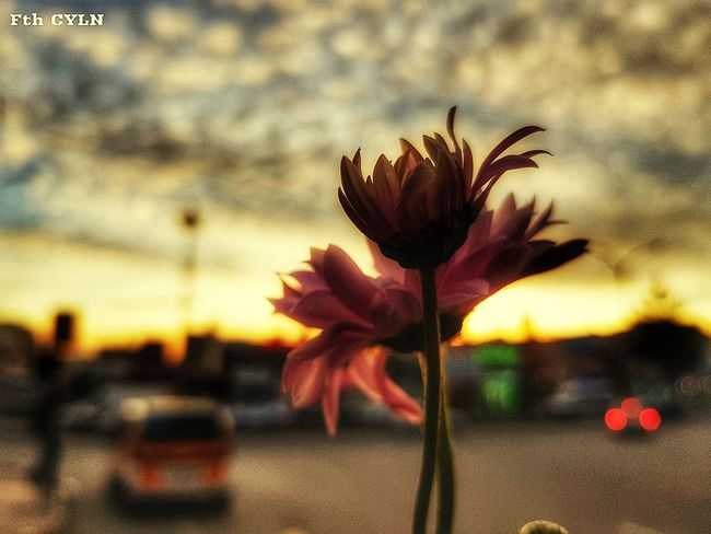Aşkla çekilmiş bir fotoğraf 🤗 #travel #love #firstpicture #beautiful #Sun_collection #Nature  #photography #likeforlike #likemyphoto #qlikemyphotos #like4like #likemypic #likeback #ilikeback #10likes #50likes #100likes #20likes #likere #naturelovers Flower Growth Nature Fragility Plant Flower Head Petal Sunset Day Beauty In Nature Outdoors First Eyeem Photo