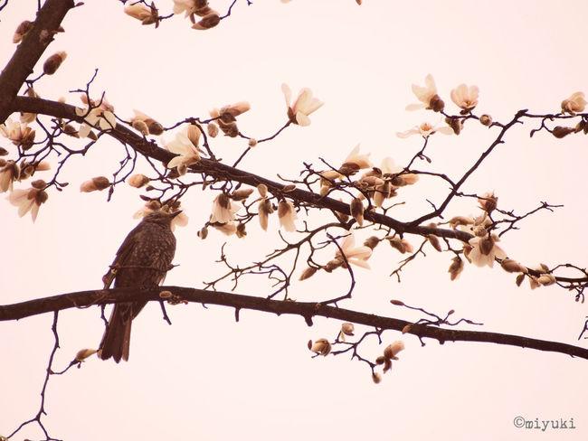 kobushi magnolia Magnolia-report-2015 Magnolia Flowerporn EyeEm Nature Lover
