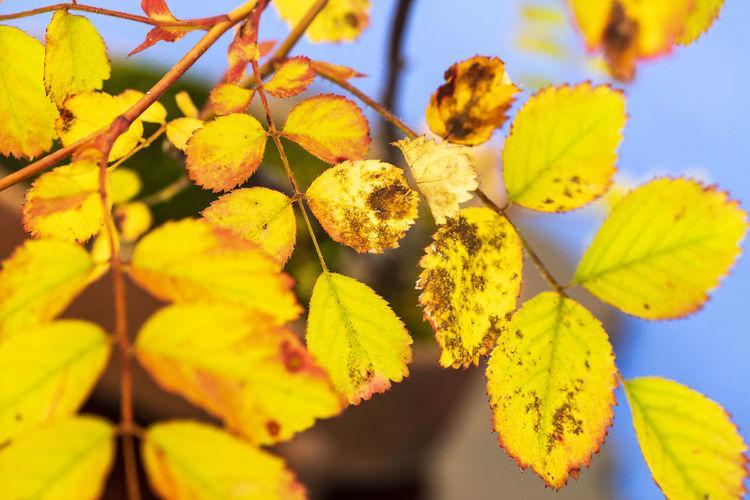 Natural fluorescent autumn leaf