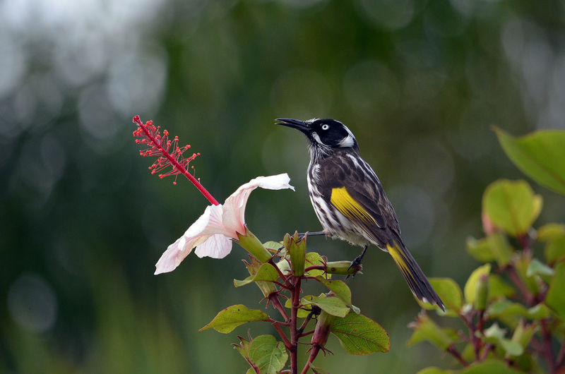 Close-Up Of New Holland Honeyeater Bird Perching On Flowering Plant