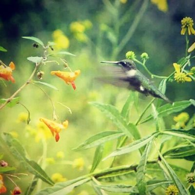 Hummingbird Momentsinthesun Nature_cuties All_my_own bestnatureshot igers_of_wv westvirginia love_natura naturehippys special_shotz mad_about_nature photowall_daily rsa_nature instanaturelovers ig_captures jj_justnature