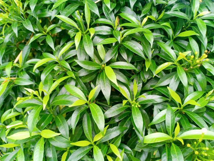 leaf Cannabis