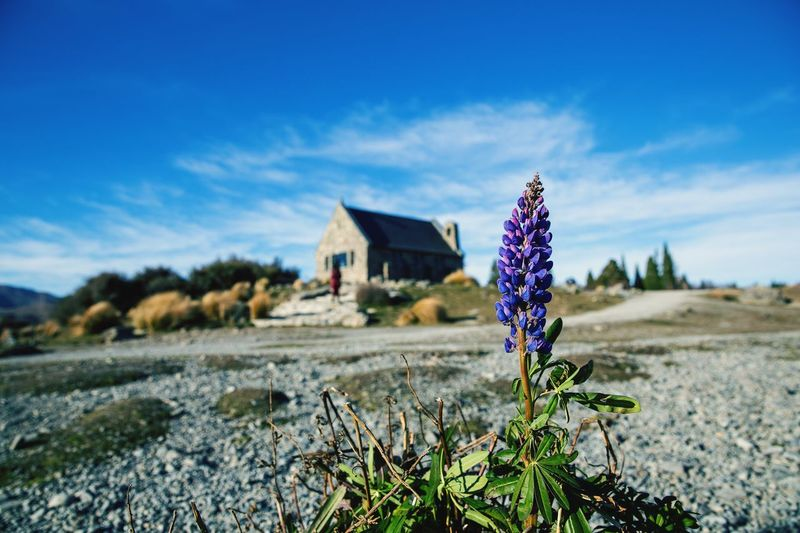 Try the different angle when there were not much lupin flowers around in New Zealand in winter. Field Nature Sky Blue Day Outdoors No People Landscape Plant Growth Flower Cloud - Sky Beauty In Nature Close-up Lupin Lake Tekapo New Zealand Beauty In Nature Low Angle View Best EyeEm Shot Lake Tekapo, New Zealand EyeEm Selects