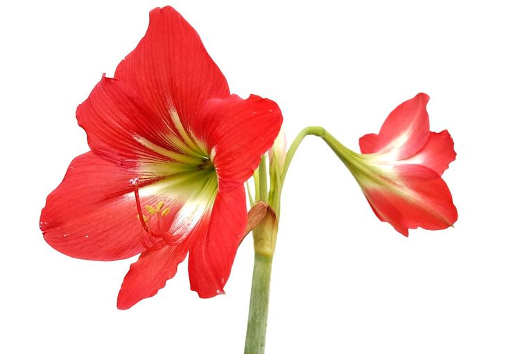 Thai Lilies Flower Head Flower White Background Poppy Red Leaf Petal Springtime Rose - Flower Blossom Wilted Plant Stem Plant Life Sepal Dried Plant Iris - Plant Dead Plant Botany Dandelion Dried Hibiscus Pistil Cosmos Flower Stamen Bud Lily Day Lily Wildflower Tulip In Bloom