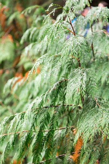 Dew on Pine Tree / Christmas Tree Christmas Nature Plant Rain Tree Vancouver British Columbia Canada Christmas Tree Outdoors