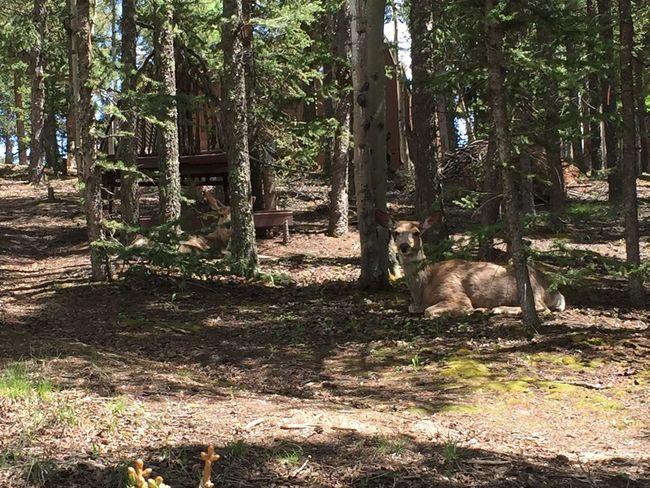 Resting does | Does Deer Doeadeer Nature Woodlandpark Colorado