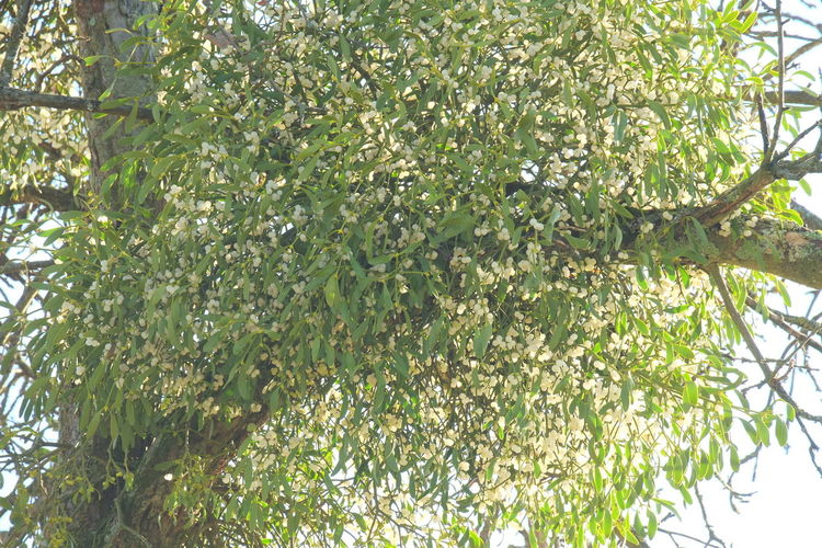 Viscum Album Beauty In Nature Close-up Low Angle View Mistletoe Mistletoe Berries Mistletoe On A Fruit Tree Nature No People