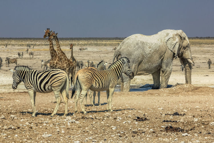 Elephant And Zebras On Landscape Against Clear Sky