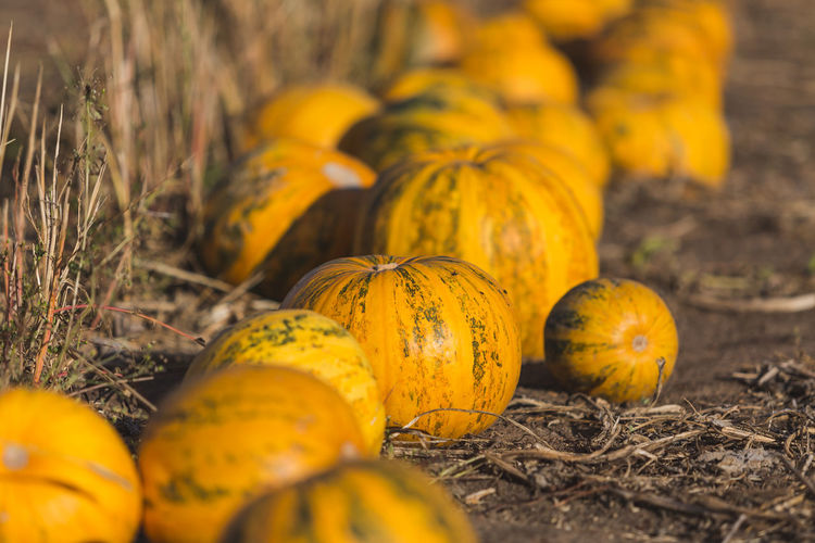 Close-up of yellow pumpkins on field