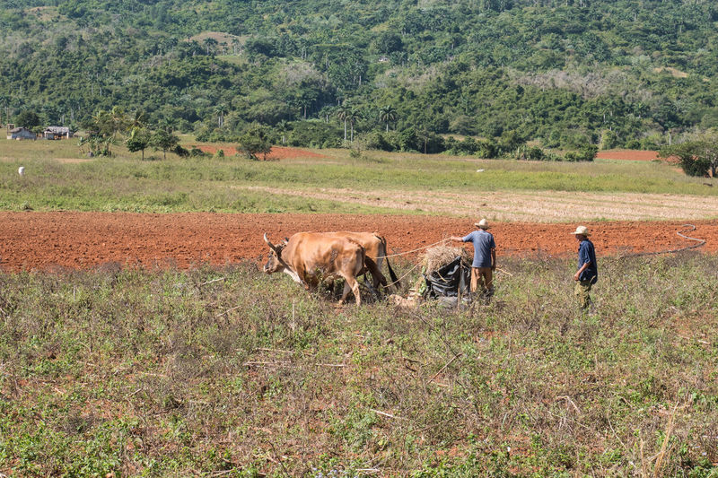 Agriculture Cuba Field Growth Tobacco Viñales Cow Domestic Animals Farmer Men Nature Plantation Real People Two People Valley Vinales Cuba Viñales Valley Working