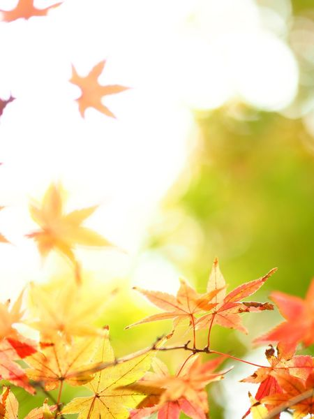 Colorful autumn🍁 Olympus OM-D E-M5 Mk.II Plant Part Leaf Maple Leaf Plant Autumn Beauty In Nature Nature Maple Tree Red Yellow Fragility Orange Color