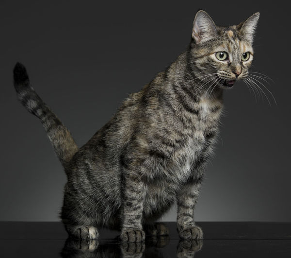 Alert Alert Cat Animal Animal Themes Cat Domestic Animals Domestic Cat Feline Looking At Camera Mammal No People One Animal Pets Screaming Tabby Whisker Zoology