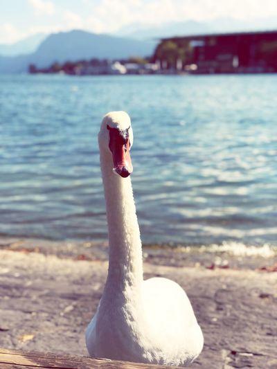 A Swiss Swan