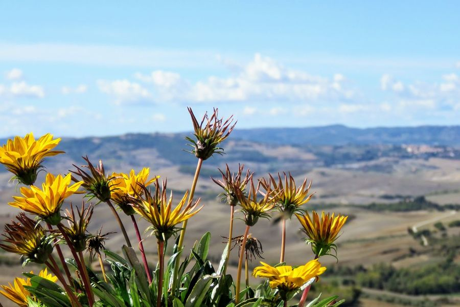 Toscana Toscane, Tuscany Beauty In Nature Close-up Day Field Flower Flower Head Growth Nature No People Outdoors Plant Sky Yellow