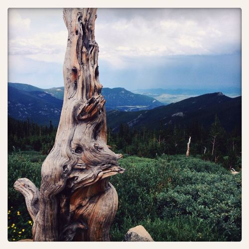 Ancient Bristlecone Pine on the Mount Evans road Colorado Mountains