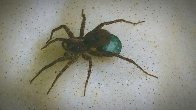 Spider With Egg Sack Spider Garden Spider Spider With Eggs Eggs