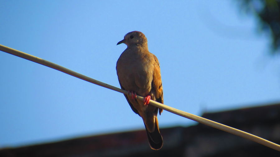 Low angle view of mourning dove perching on cable against sky