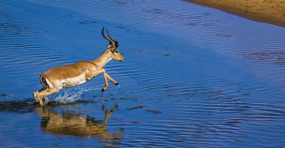 High angle view of impala jumping in lake