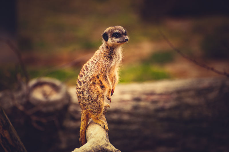 Close-Up Of Meerkat Standing On Branch