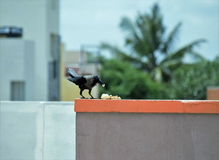 Crow Eating Food On Retaining Wall In City