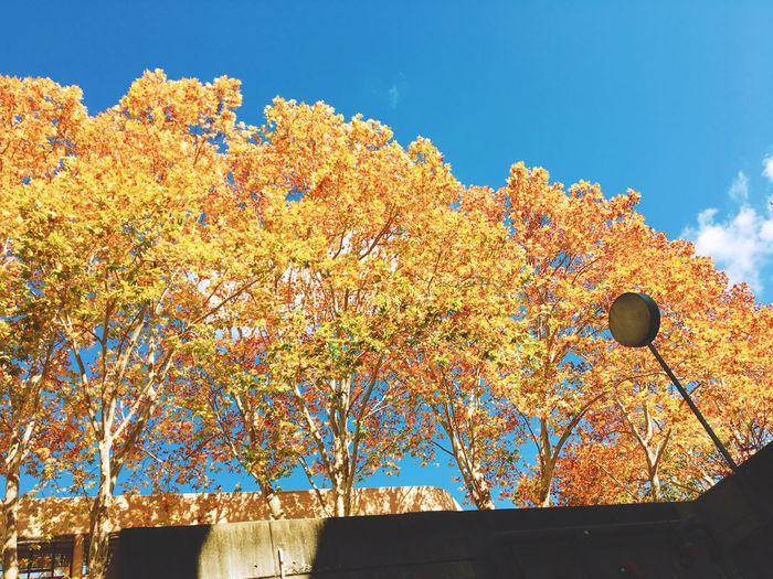 枫叶🍁 Streetphotography Light And Shadow Winter Low Angle View Sky No People Day Nature Plant Sunlight Outdoors Tree